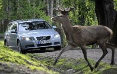 Zum Artikel Volvo entwickelt Sicherheitssystem gegen Wildunfälle